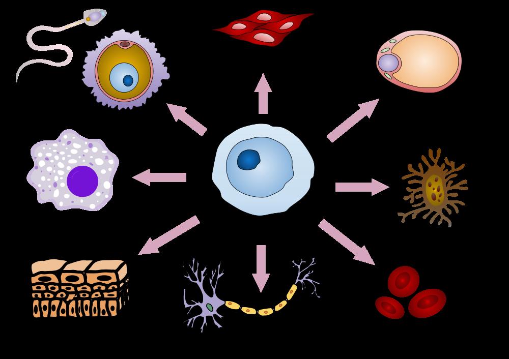 stem cell illustraation